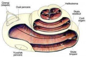 Kulak Yapısı